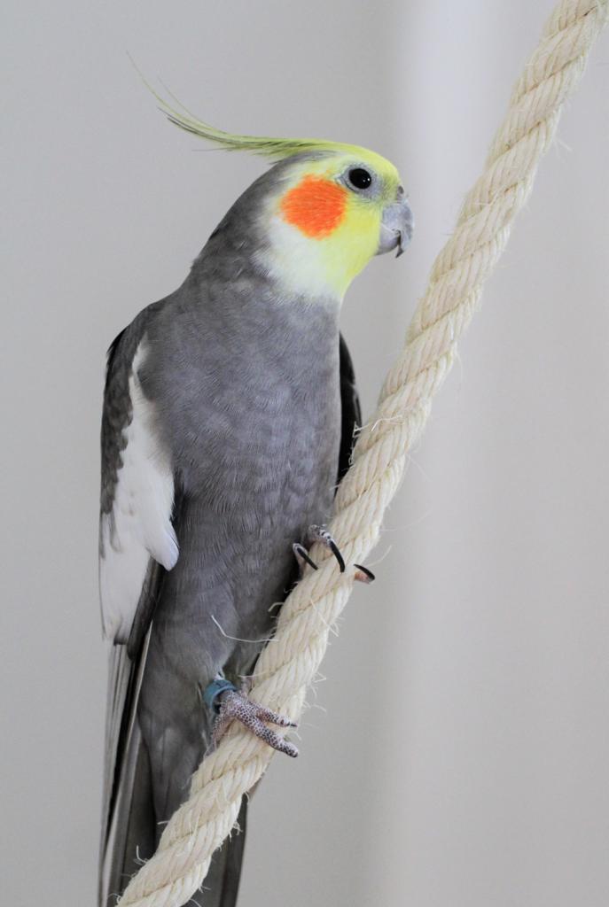Neitokakadu